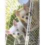 Hembra Chihuahua Cachorra Preciosa 10 Meses!!!