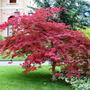 Acer Palmatum Atropurpureum - Envase 4 Lts.