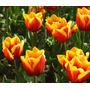 Tulipanes - 10 Bulbos - Importados De Nueva Zelanda