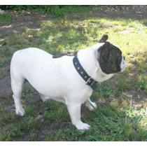Bulldog Francés Macho Con Fca Para Servir A Tu Hembra