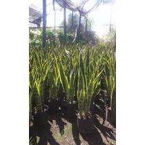 Planta Sansevieria Venta Mayor Y Menor Envios Bs As