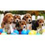 Beagle Cachorros Tricolor Y Bicolor Con Pedigree