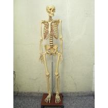 Cuerpo Humano, Esqueleto Tamaño Natural
