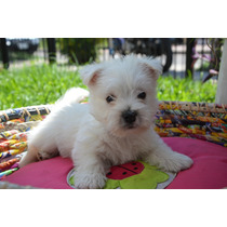 West Highland White Terrier-excelente Pedigree