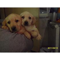 Cachorros Labradores Retriever, Arena/dorados