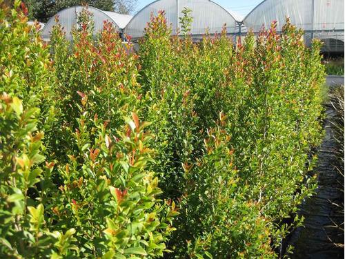 Eugenia myrtifolia envase 4litros 75 dnpsg precio d for Pianta eugenia