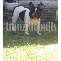 Bulldog Frances Vaquita Servicio De Stud Hijo Multicampeon