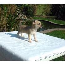 Chihuahua H E M B R A Pelo Corto Con Pedigree De Fca