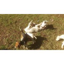 Ofertas? Dogo Argentino, Cachorra De 7 Meses Ideal Criadores