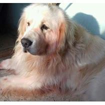 Golden Retriever Ultimos Cachorros