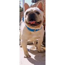 Bulldog Frances Servicios Stud