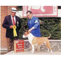 Macho Bull Terrier Importado Y Campeon Para Servicio Stud
