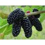 Arboles De Mora !! - Frutal Delicioso En Varios Tamaños
