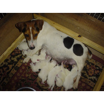 Jack Russell Terrier Linea Criadero Tlaxcala Excelente Ped.