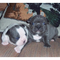 Bull Dog Frances Blue Macho!!! Oportunidad!!!