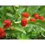 Espinaca Frutilla Semillas Para Plantas