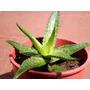 Plantas De Aloe Vera/barbadensis/miiler Y Saponaria/sabila