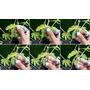50 Semillas Planta Sensible Al Tacto - Mimosa