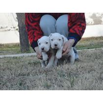 Vendo Cachorros Dogo Argentino. Excelente Linea De Sangre