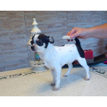 Chihuahuas Pelo Corto Y Pelo Largo Pedigree De Fca