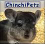 Chinchillas, Las Mas Lindas Y Dóciles Pets