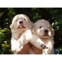 Los Mejores Cachorros De Golden Retriever