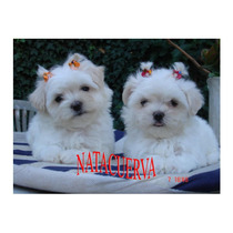 Maltes Malteses Cachorros Mini Miralos Con Pedigree