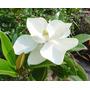 Magnolia Grandiflora Flor Blanca - Directo De Vivero Kirken