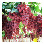 Uva Red Globe Fruta Vitis Semillas P/ Plantas + Regalo