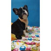Bulldog Frances,excelentes, Con Fca, En La Plata