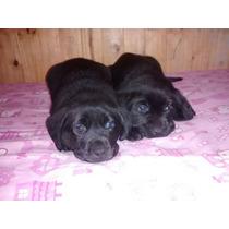 Cachorros Labradores 100% Puros !!