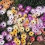 Alfombra Mágica Mesembryanthemum Criniflorum Daisy Semillas