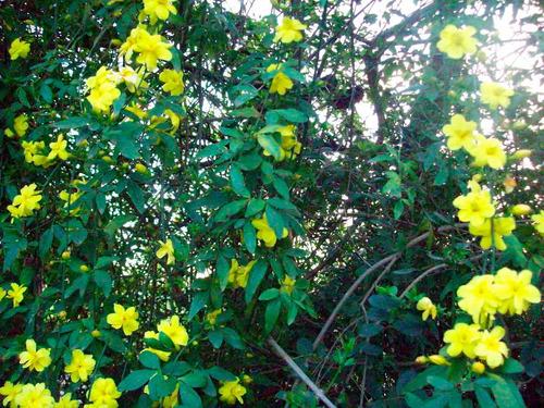 Jazmin amarillo y jazmin del pa s plantas a ars 30 en for Jazmin planta precio