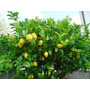 Combo Limon+naranja+kinoto+mandarina+4frutales Mas Env.s/car