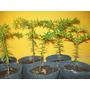 Arbol Araucaria Plantin. Vivero Arbol Hermano. Jardin/bonsai