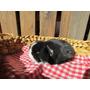 Conejos Orejas Caídas Holland Lop Puros En Ituzaingó