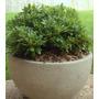 Pittosporum Tobira Weelerie E10 Arbusto Nana