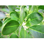 Plantines De Yerba Mate (organicos)