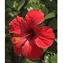 Rosa China Amarilla Simple /doble Despacho Y Embalaje Gratis