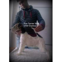 Fox Terrier Wire Macho Con Pedigri Can Club Argentino