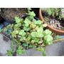 Planta Suculenta Crassula Pellucida En Maceta Cultivo 10