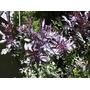 Acacia Bayleyana Rubra 1,50-1,60 M. Hacemos Envíos Consulte