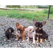 Chihuahuas Hembras D I V I N A S !!! Con Pedigree De Fca