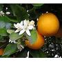 Naranjo De Ombligo 1,50 M. Bella Vista Jardinyparque