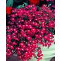 Lobelia Rosamund Fountain Rose Erinus Semillas Para Plantas