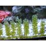 Caulerpa Sp. Alga Para Acuario Marino Porción 300ml + Envío!