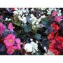 Flor De Azucar! Para Su Jardin, Hermosa Planta