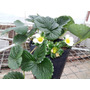 Plantines De Frutillas X 50 Unidades Maceta 3lts
