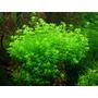 Hemianthus Micranthemoides X10 (planta Acuática) - Envíos
