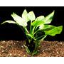 Cryptocoryne Pontederiifolia - Plantas De Acuario